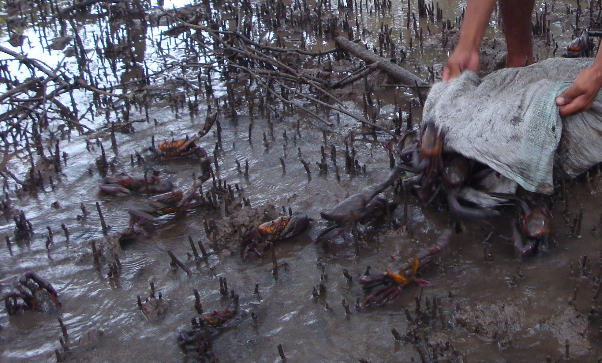 Crab being released to the marsh.  Photo: Parker Townley