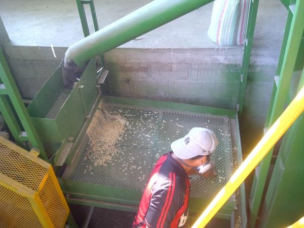 A worker processes corn.
