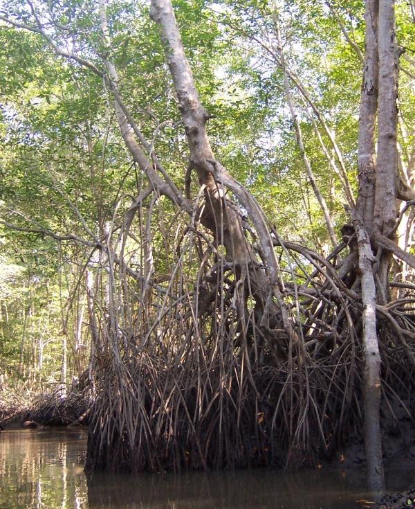 Mangrove_NW