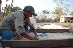 Agronomists from the Mangrove Association sorting seeds before laying them out to dry